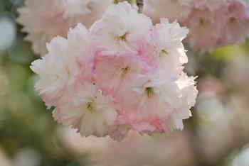 桜の花エキス 八重桜 抗糖化作用