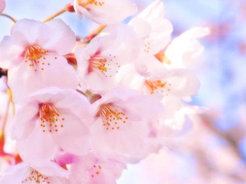 桜の花エキス 効果 サクラエキス