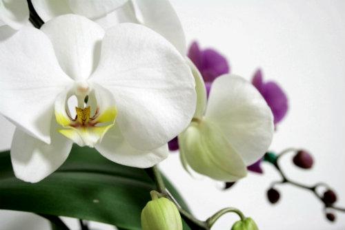 肌 修復と再生 胡蝶蘭エキス